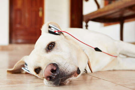 down beat: Labrador retriever is resting and listening music.