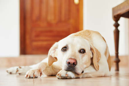 lying on the floor: Labrador retriever is lying on the floor at home.