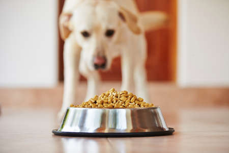 Hungry labrador retriever is feeding at home.