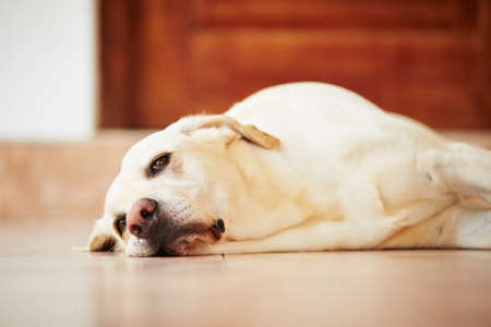 Labrador retriever is lying on the floor at home. photo
