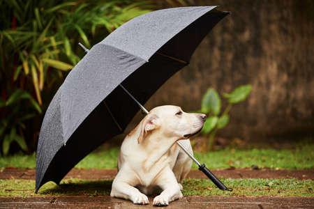 rainfall: Labrador retriever in rain is waiting under umbrella. Stock Photo