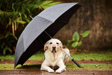 雨の中でラブラドル ・ レトリーバー犬は傘の下で待っています。