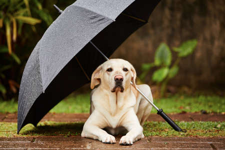 Labrador retriever in rain is waiting under umbrella. Stock Photo