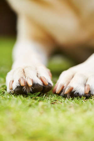 Paws of yellow labrador retriever on grass photo