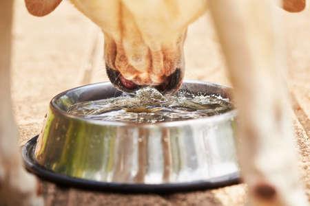 tomando agua: Sediento labrador retriever amarillo es el agua potable de la taza