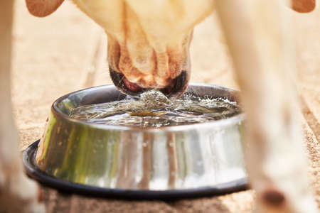 bowl water: Thirsty yellow labrador retriever is drinking water from bowl