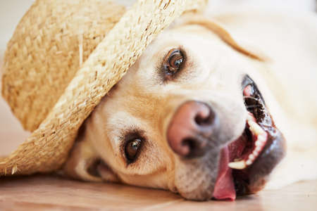 Labrador retriever is posing with straw hat Stock Photo