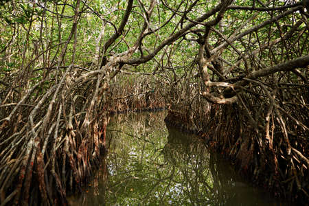 mangrove forest: River between the mangrove trees in Sri Lanka Stock Photo