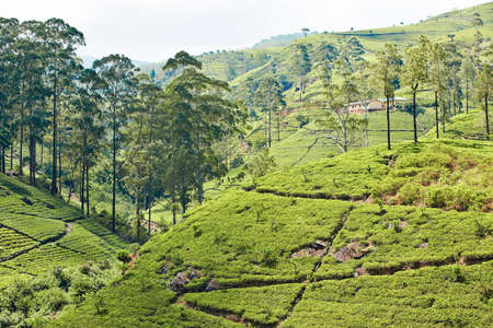 Landscape with tea plantations in Sri Lanka  photo