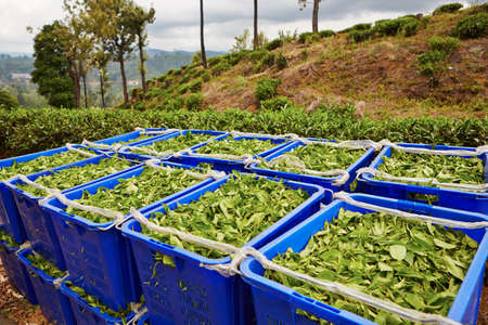 tea crop: Green leaves of tea in blue boxes in Sri Lanka Stock Photo