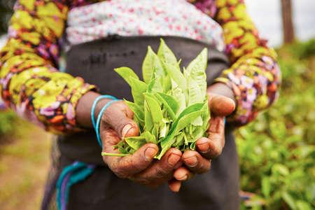 차 농장에서 여자의 손 - 스리랑카 스톡 콘텐츠