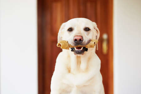 expectation: Labrador retriever with bone is waiting at home.