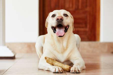Labrador Retriever mit dem Knochen ist zu Hause wartet. Standard-Bild - 28351805