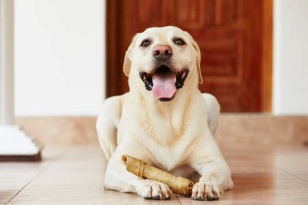 Labrador retriever with bone is waiting at home.