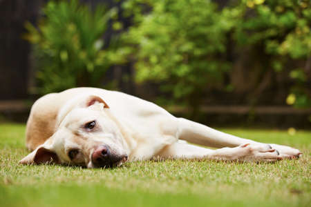 Labrador retriever is lying on the grass