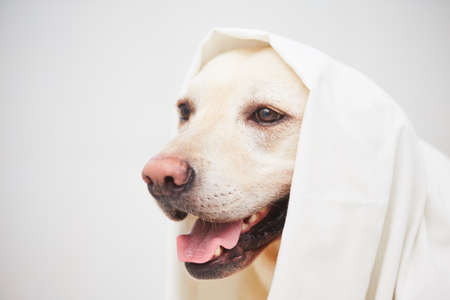 Labrador retriever is playing with white bed sheet. Stock Photo