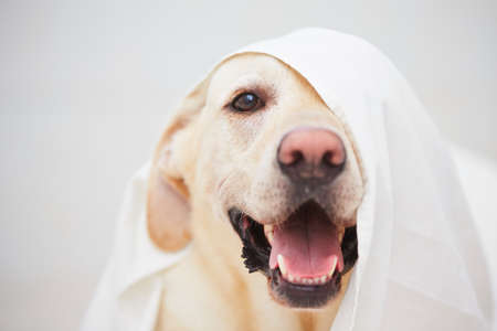 playful behaviour: Labrador retriever is playing with white bed sheet. Stock Photo