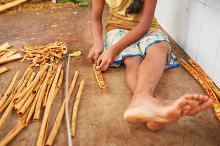 agriculture sri lanka: Young woman is processing branches of cinnamon in small workshop in  Sri Lanka.