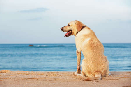horizon over water: Labrador retriever is sitting on the beach Stock Photo