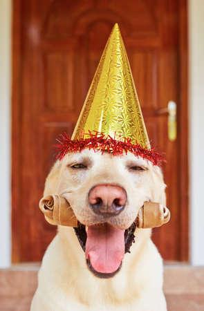 Cute labrador retriever is wearing party hat