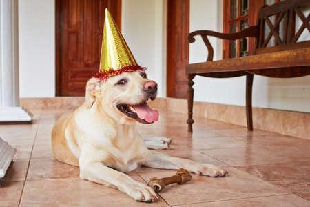 perro labrador: Retriever lindo labrador lleva sombrero de fiesta