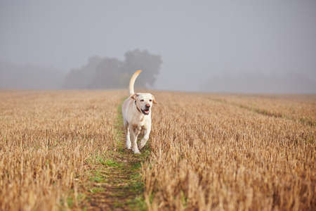 Labrador retriever on the field in autumn. Banque d'images