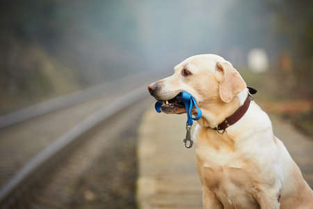 perro labrador: El perro está esperando para el propietario de la plataforma ferroviaria