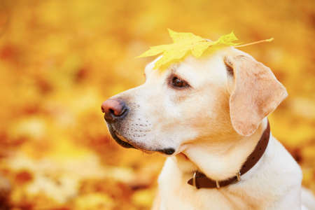 dogs play: Labrador retriever with a leaf in autumn