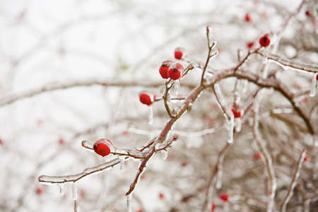 iciness: Frozen rosehips covered by icy rain - selective focus Stock Photo