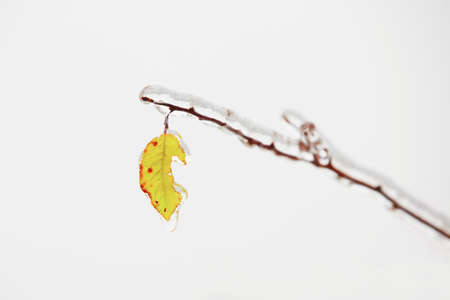 water drip: Branch of the tree covered by icy rain.