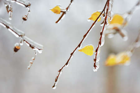 iciness: Branch of the tree covered by icy rain.