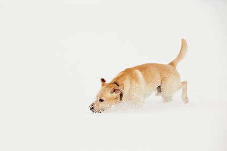 perro corriendo: Labrador retriever amarillo se está ejecutando en el paisaje invernal Foto de archivo