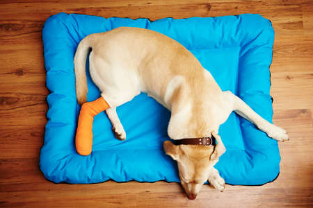 pierna rota: Labrador retriever amarillo está durmiendo con la pierna rota