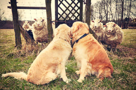 sheep dog: Two golden retrievers are looking for sheep.