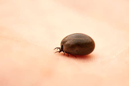 ticks: Tick is crawling on the human palm