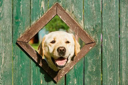 Nieuwsgierige hond is op zoek vanuit het raam in een houten hek