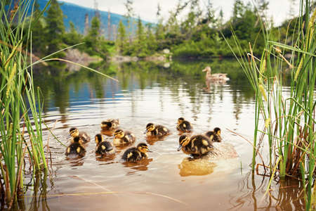 swimming bird: Ducklings in the lake in National Park High Tatras, Slovakia