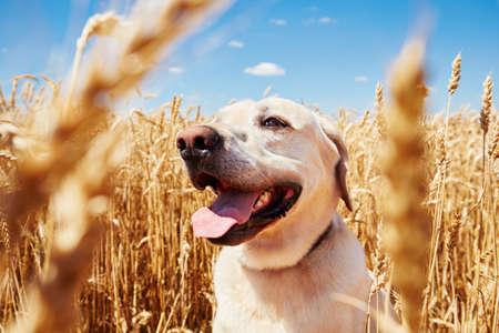 cielo azul: Yellow labrador retriever está esperando en campo de maíz