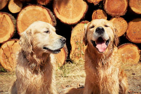 brothers: Portrait of the two golden retriever dogs