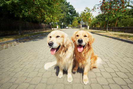 hot boy: Two golden retriever dogs on the old road. Stock Photo