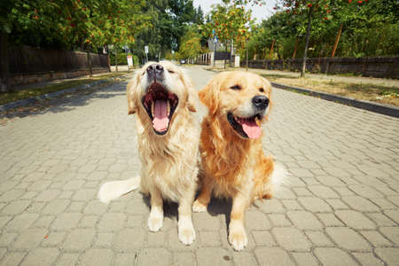 cute man: Two golden retriever dogs on the old road. Stock Photo