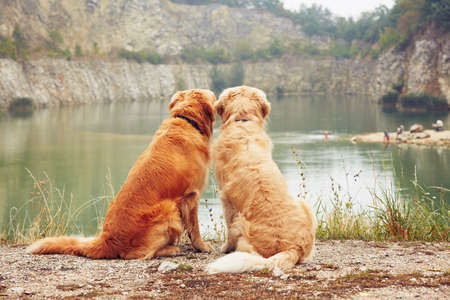 Lake for swimming. Two golden retriever dogs in old stone quarry. Фото со стока