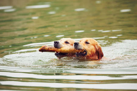 head of animal: Two golden retrievers dogs are swimming with stick.