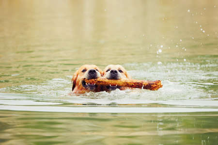 Two golden retrievers dogs are swimming with stick.