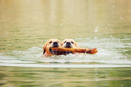 Zwei Golden Retriever Hunde mit Stock schwimmen.