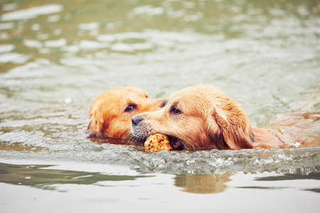 brothers: Two golden retrievers dogs are swimming with stick.