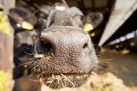dairying: Cow in the cowshed - Czech Republic