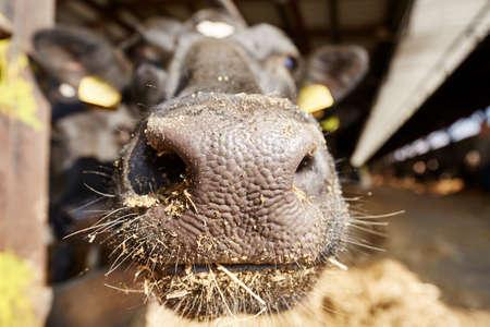 orificio nasal: Vaca en el establo - República Checa