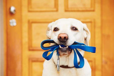 Labrador Retriever mit Leine wartet Spaziergang.