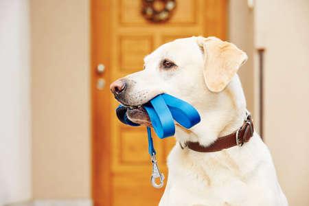 Labrador Retriever mit Leine wartet Spaziergang. Standard-Bild - 47464275